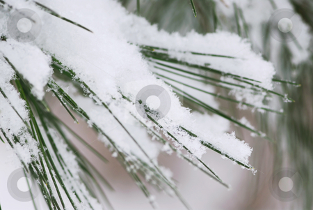 Snow on pine needles stock photo, Pine needles covered with fluffy snow, macro with snowflakes visible by Elena Elisseeva