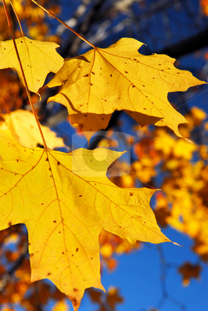 Yellow maple leaves stock photo, Yellow maple leaves in a fall park, close up by Elena Elisseeva