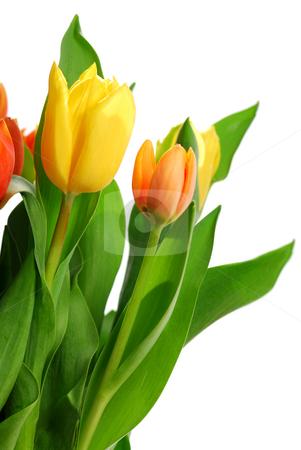 Tulips stock photo, Close up on fresh backlit tulips on white background by Elena Elisseeva