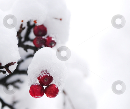 Winter berries stock photo, Red winter berries on a tree covered with fresh snow by Elena Elisseeva