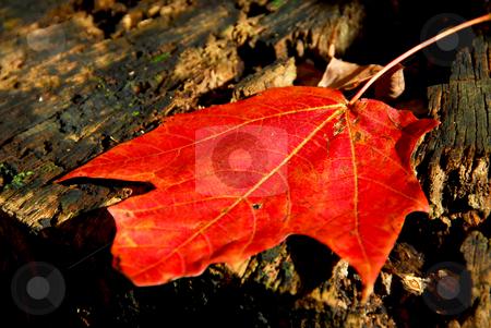 Maple leaf stock photo, Red maple leaf on old tree stump by Elena Elisseeva