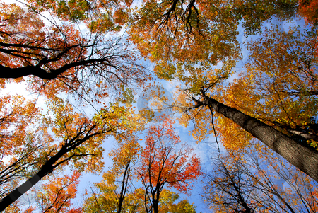 Treetops stock photo, Tops of colorful fall trees on blue sky background by Elena Elisseeva