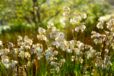 Widlflowers white campions stock photo, Wildflowers wild campions blooming in summer meadow by Elena Elisseeva