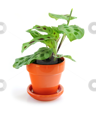 Houseplant on white background stock photo, Green leafy houseplant isolated on white background by Elena Elisseeva