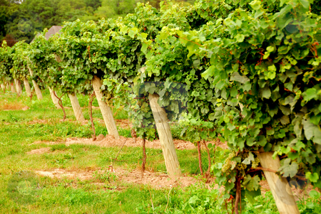 Vineyard stock photo, Rows of green vines by Elena Elisseeva