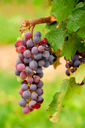 Grapes stock photo, Bunch of red grapes growing on a vine, closeup by Elena Elisseeva