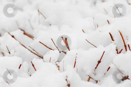 Snow covered shrubs stock photo, Shrub branches covered with heavy snow, natural background by Elena Elisseeva