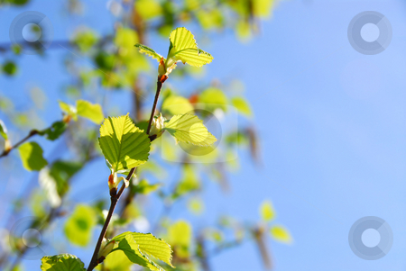 Spring stock photo, Young spring green leaves on blue sky background by Elena Elisseeva
