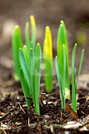 Spring shoots stock photo, Shoots of spring flowers daffodils in early spring garden by Elena Elisseeva
