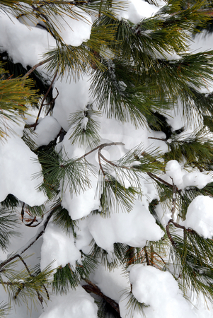 Snowy pine stock photo, Branches of a pine tree covered with snow by Elena Elisseeva