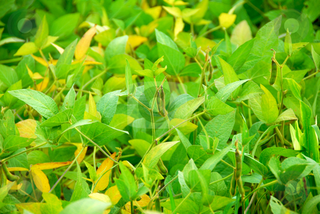 Soybeans stock photo, Soy beans growing on a soybean plant in a farm field by Elena Elisseeva