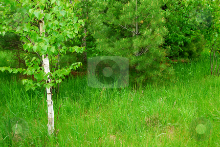Spring forest stock photo, Natural background of lush green spring forest by Elena Elisseeva