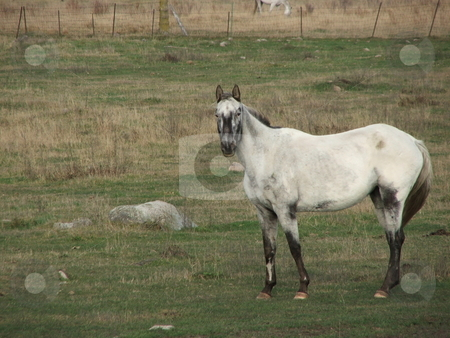 White horse stock photo, A horse studies an intruder with a watchful eye. by Dennis Thomsen