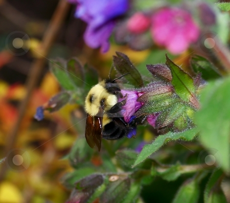 Bumblebee and flowers stock photo, Image of a bumblebee with pink and blue flowers. by Jill Oliver