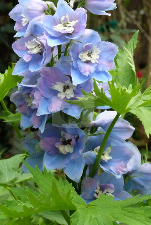 Blue Flowers stock photo, Blue flowers growing wild in herb garden by Marburg