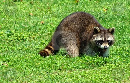 Raccoon Rascal stock photo, Raccoon crossing lawn by Marburg