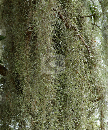 Spanish Moss stock photo,  by Marburg