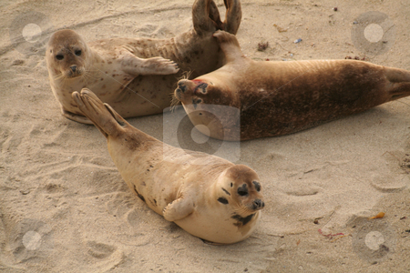 Seals stock photo,  by Greg Peterson