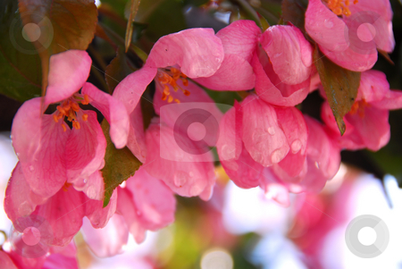 Apple blossom stock photo, Pink blossom of an apple tree with rain drops by Elena Elisseeva