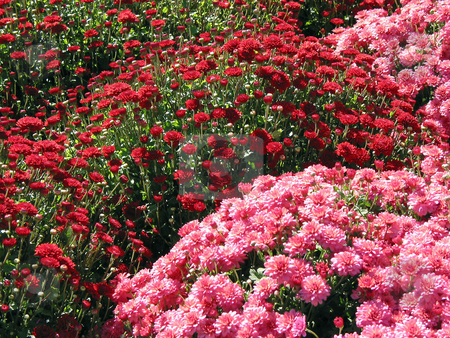 Red and pink fall mums stock photo, A field of red and pink fall mums by Elena Elisseeva