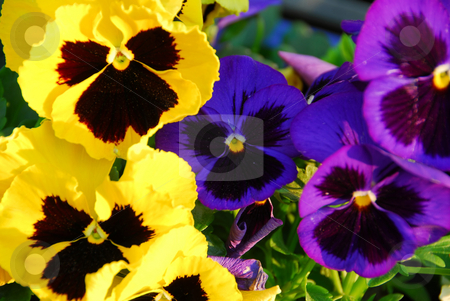 Pansies stock photo, Pansies close up by Elena Elisseeva