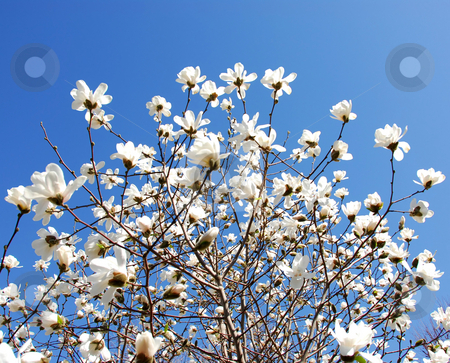 Blooming magnolia stock photo, Blooming magnolia tree by Elena Elisseeva