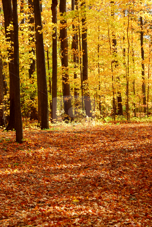 Fall forest landscape stock photo, Colorful sunlit fall forest with fallen leaves covering the ground by Elena Elisseeva