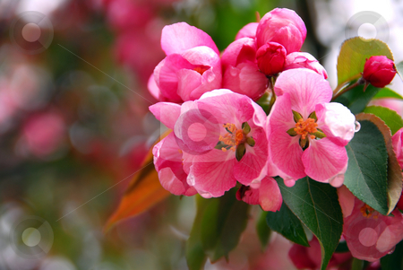 Apple blossom stock photo, Pink apple blossom close up in spring orchard by Elena Elisseeva