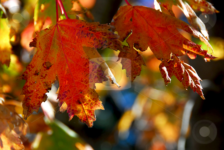 Fall maple leaves stock photo, Colorful fall maple leaves close up by Elena Elisseeva