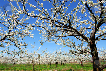 Apple orchard stock photo, Old blooming apple trees in a spring orchard by Elena Elisseeva