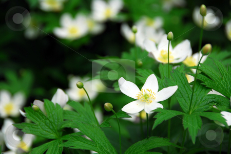 Wood anemones stock photo, Spring wild flowers wood anemones close up by Elena Elisseeva