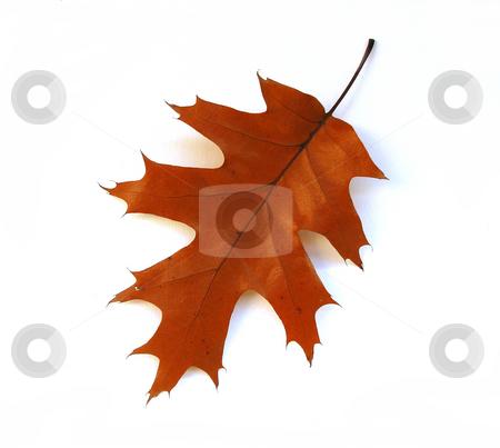 Fall oak leaf on white background stock photo, Isolated fall oak leaf on white background by Elena Elisseeva