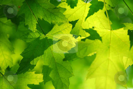 Green maple leaves stock photo, Green maple leaves background by Elena Elisseeva