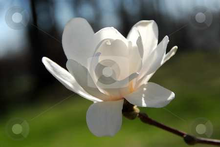 Magnolia flower stock photo, Backlit magnolia flower closeup by Elena Elisseeva