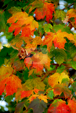 Maple leaves stock photo, Colorful maple leaves and maple keys in the fall by Elena Elisseeva