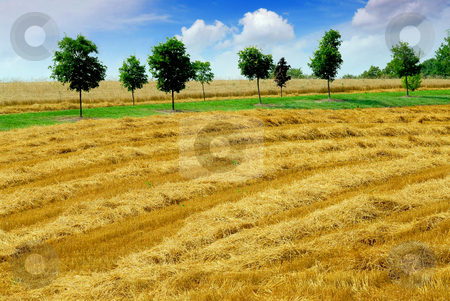 Harvest grain field stock photo, Farm field with yellow harvested grain by Elena Elisseeva