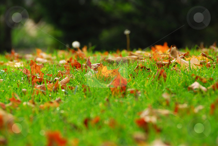 Leaves in grass stock photo, Natural background of fallen autumn maple leaves in grass by Elena Elisseeva