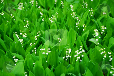 Lily-of-the-valley stock photo, Lily-of-the-valley growing by Elena Elisseeva