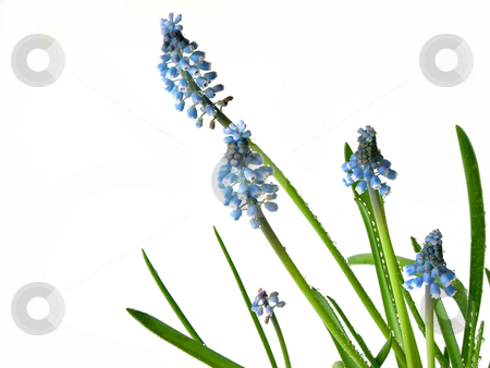 Blue spring flowers on white stock photo, Macro of spring blue flowers (muskari) isolated on white background by Elena Elisseeva