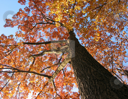 Old oak tree in the fall stock photo, Old oak tree in the fall with bright blue sky by Elena Elisseeva