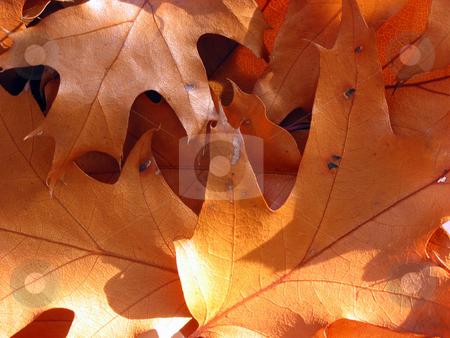 Closeup on sunlit oak leaves stock photo, Closeup on sunlit oak leaves, background by Elena Elisseeva