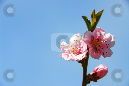 Peach blooms stock photo, Branch of blooming peach tree on blue sky background by Elena Elisseeva