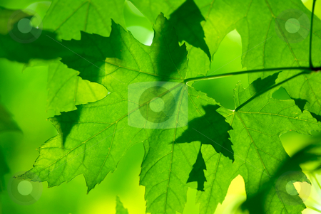 Green maple leaves macro stock photo, Green maple leaves macro background by Elena Elisseeva