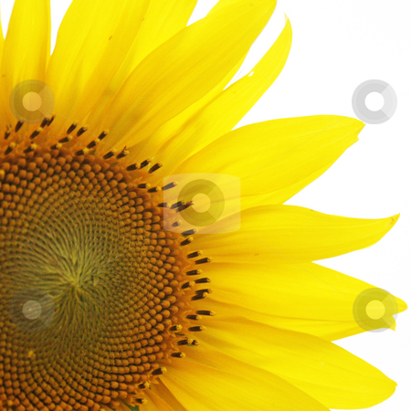 Sunflower stock photo, Close up of a bright yellow sunflower by Nathan Smith