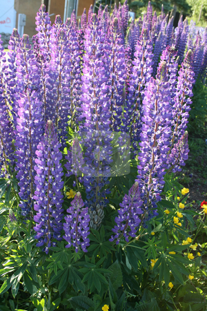 Tall Wild Lupines stock photo, Tall wild purple lupines in the sun by Tom and Beth Pulsipher