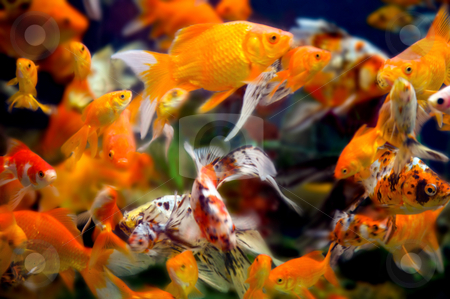 WIld goldfish in an aquarium stock photo, A large group of swimming goldfish in an aquarium - lots of motion and blurring some fish in focus - most are not by Mitch Aunger