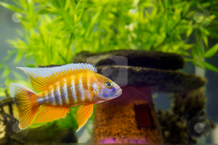 African Cichlid in aquarium  stock photo, Beautiful African Cichlid (Red Peacock) swimming in the aquarium. Lots of bright orange. by Mitch Aunger