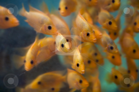 Guppies in fish tank  stock photo, A group of fish watching us with their eyes pointing at the viewer - some motion and blurring some fish in focus - most are not by Mitch Aunger