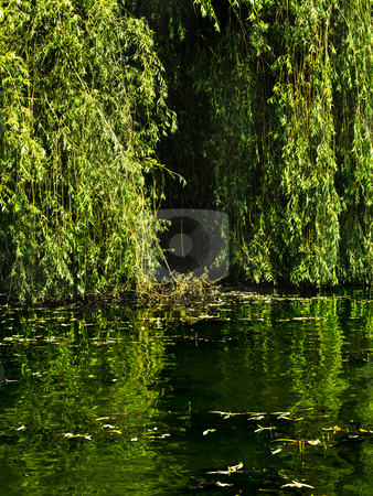 Lake willow stock photo, Sweet willow green flowing on the lake by Adrian Costea