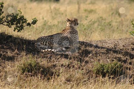 Cheetah stock photo, Cheetah lying in the shadow in the Masai mara, Kenya by Claudia Van Dijk